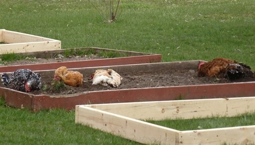 chickens in the garden | ASimpleHomestead.com
