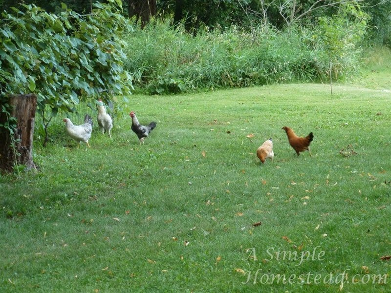 teenage chickens free-ranging