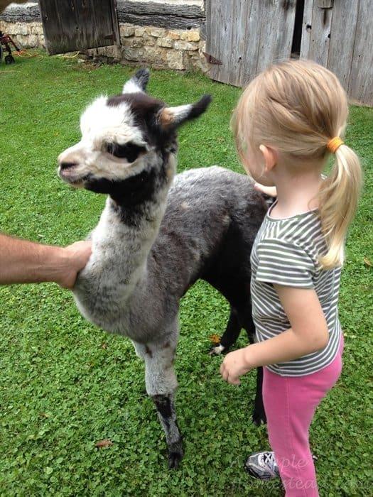 ASimpleHomestead.com - alpaca