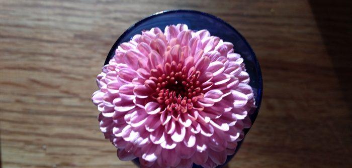 ASimpleHomestead.com - pink mum