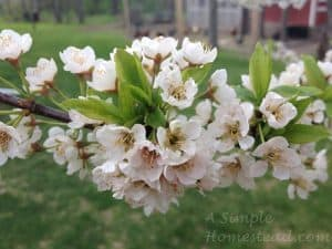 ASimpleHomestead.com - spring apple blossoms