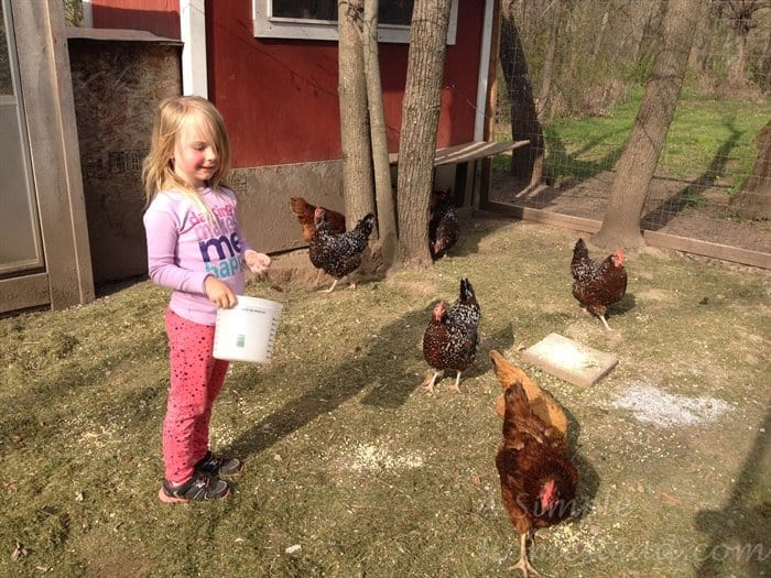 ASimpleHomestead.com - feeding the chickens