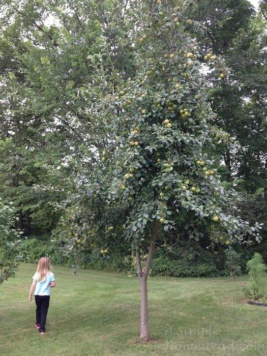ASimpleHomestead.com - apple tree