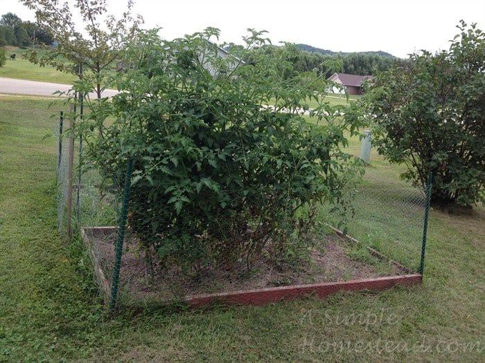 ASimpleHomestead.com - tomato plant