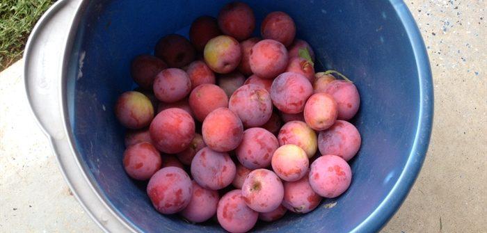 ASimpleHomestead.com - plums