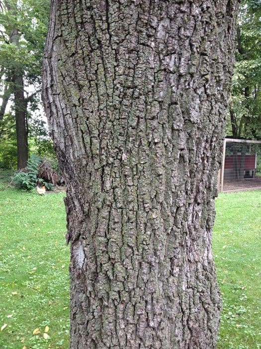 ASimpleHomestead.com - black walnut bark