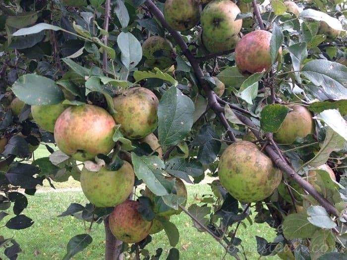 ASimpleHomestead.com - Haralson apple tree