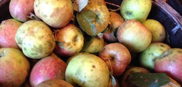 ASimpleHomestead.com - Haralson apples