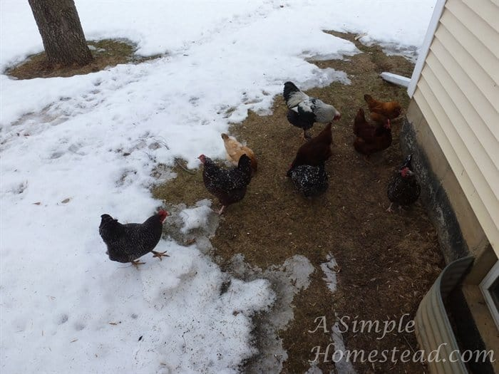ASimpleHomestead.com - chickens enjoy a patch of grass