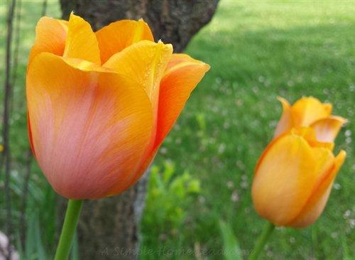 Sunset Shimmer tulips | ASimpleHomestead.com