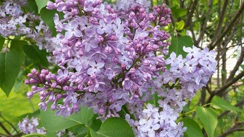 lilac blossoms | ASimpleHomestead.com