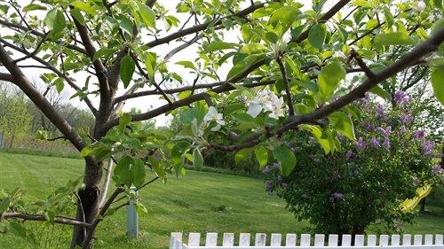 Honeycrisp apple blossoms | ASimpleHomestead.com