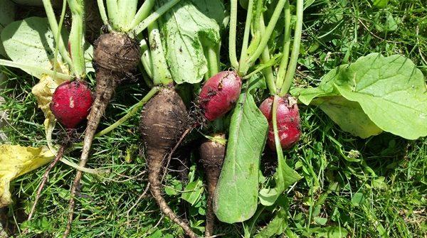 radishes | ASimpleHomestead.com