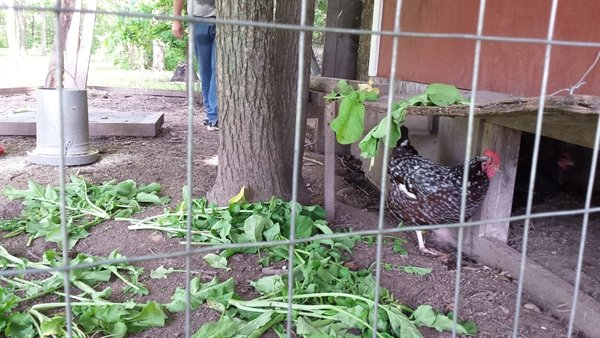treat for the chickens | ASimpleHomestead.com