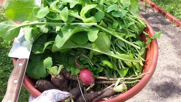 mesclun lettuce and radish harvest | ASimpleHomestead.com
