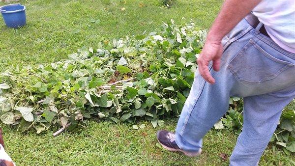 bean teepee on the ground | ASimpleHomestead.com