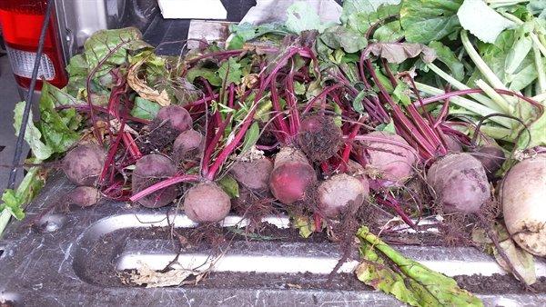 beet harvest | ASimpleHomestead.com