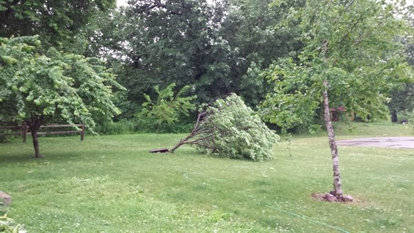 our fallen plum tree