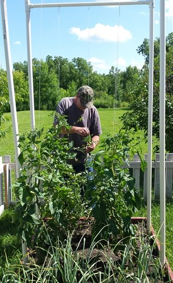 Papa with tomato trellis