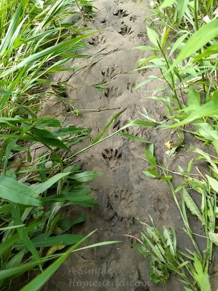 raccoon tracks near the Root River