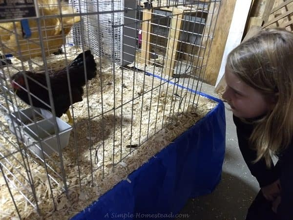 homestead update - county fair, viewing chickens